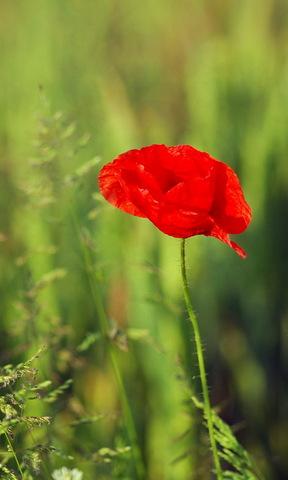 亲亲木朵手机壁纸 三叶草的幸福手机壁纸 花朵手机壁纸 护眼四叶草