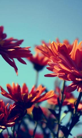 朝阳向日葵手机壁纸 蒲公英上的剔透露珠手 高清自然植物手机壁纸