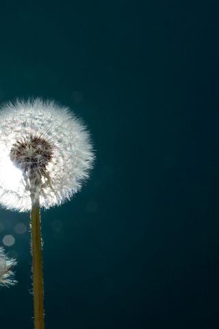 花朵手机壁纸 独自绽放你的美高清花 蓝天下的小野花手机壁  蒲公英