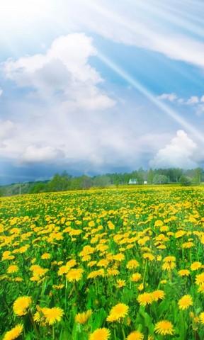 向日葵花海手机壁纸