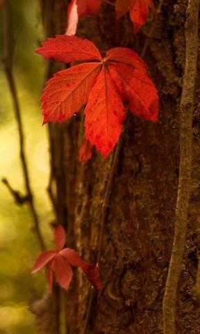 秋之叶手机壁纸