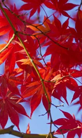 秋天的红叶手机壁纸