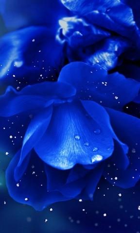 桌面壁纸蓝玫瑰,蓝玫瑰电脑桌面壁纸,桌面全屏壁纸蓝玫瑰,蓝玫瑰