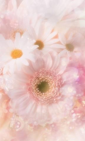 大自然唯美清新洁白雏 亲亲木朵手机壁纸 花朵手机壁纸 护眼四叶草