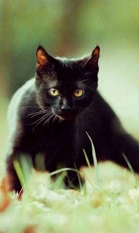 【散步的小黑猫手机壁纸】散步的小黑猫手机壁纸免费