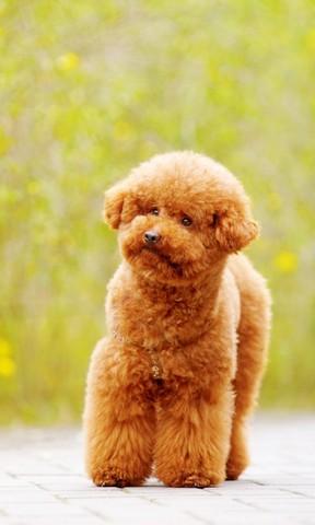 泰迪小狗手机壁纸
